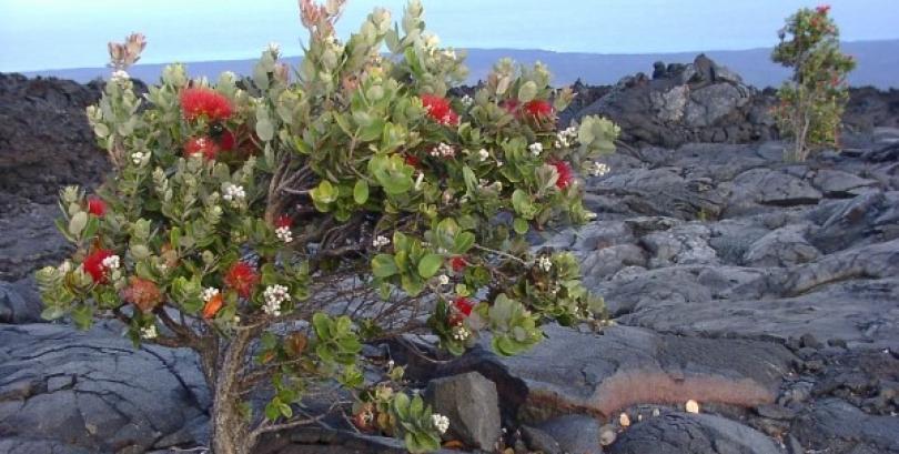 Ohia Tree / Lehua flower